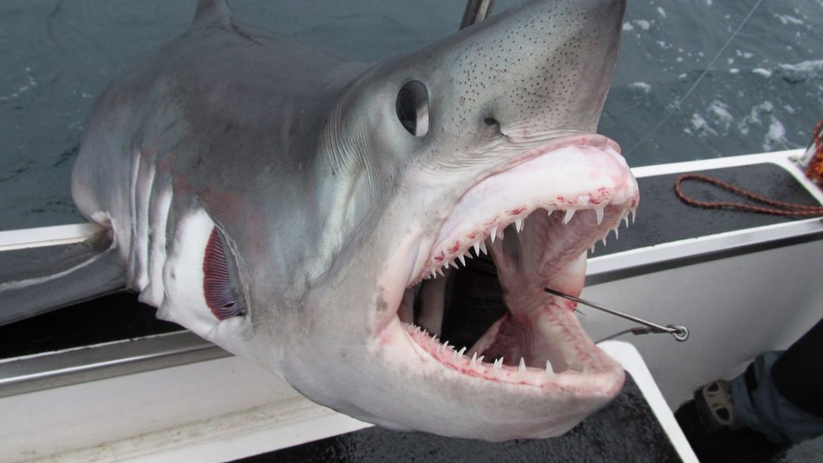 UK's worst shark attacks – Mini Jaws, battle with 'The Beast' and deadly 'torpedo'